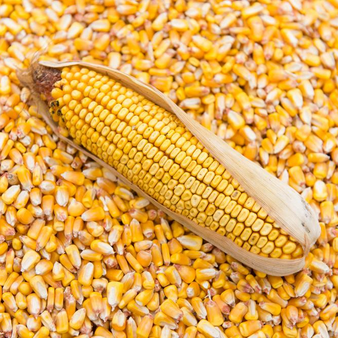 Buy High-quality yellow corn ,High-quality yellow corn For Sale