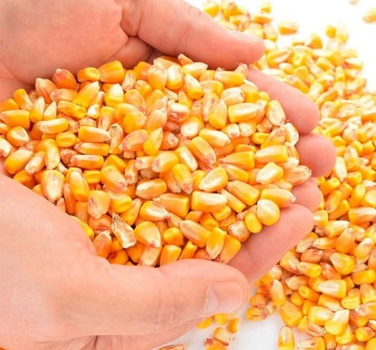 Non-Gmo Yellow Corn For Human Consumption,Buy yellow corn online